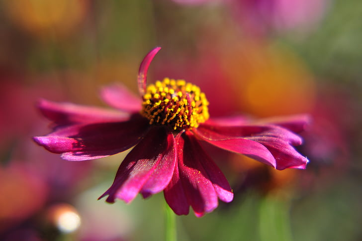 flower, cosmos, red, close, red flower, garden, nature
