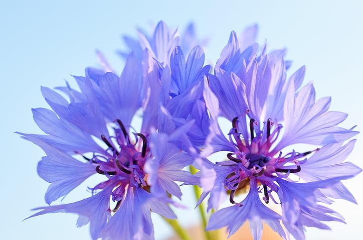 Aciano, blau, violeta, porpra
