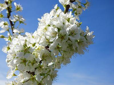 blommig gren, plommon, blommor, Plum blossom, florir, våren