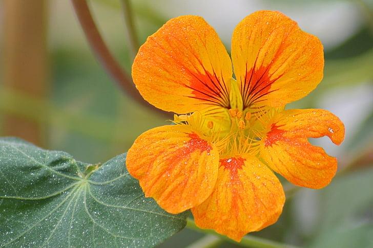 flor, flor, taronja, taronger, flor, flors de taronja