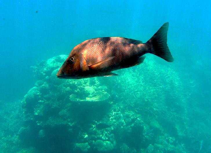 fisk, havet, vatten, Ocean, Underwater, meeresbewohner, undervattensvärlden