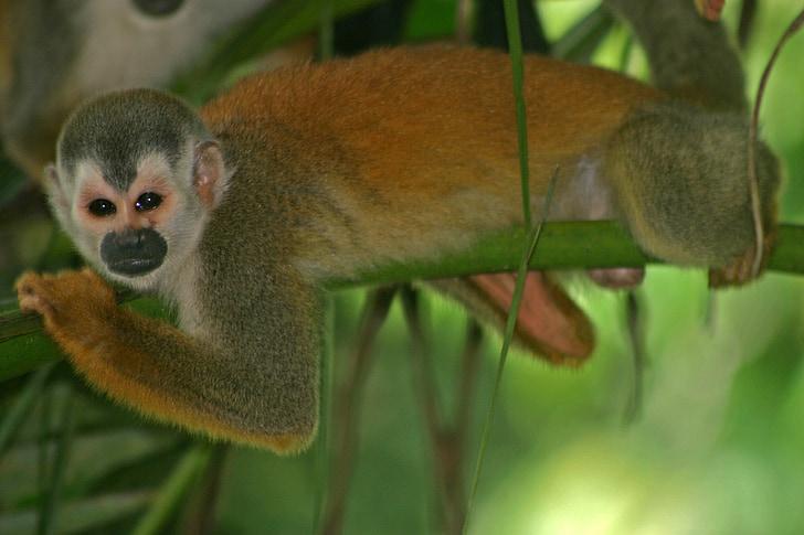monkey, squirrel, primate, wildlife, nature, wild, rainforest
