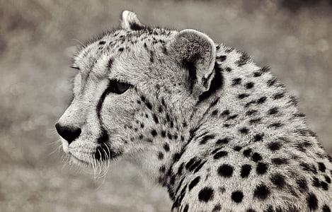 cheetah, cat, predator, animal, animal portrait, africa, south africa