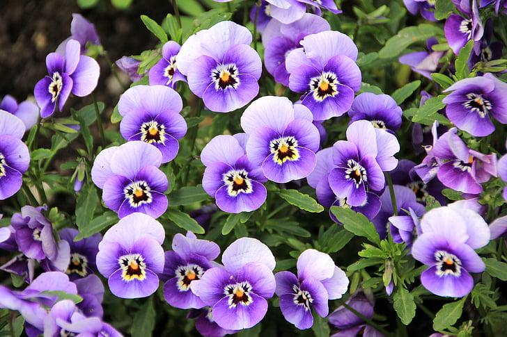 flors, planta, porpra, pensament, violeta