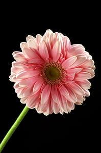 flower, pink, pink flower, plant, flowers, beautiful, gentle