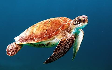 teknős, teknős, úszni, tengeri teknős, lény, óceán, tengeri élet