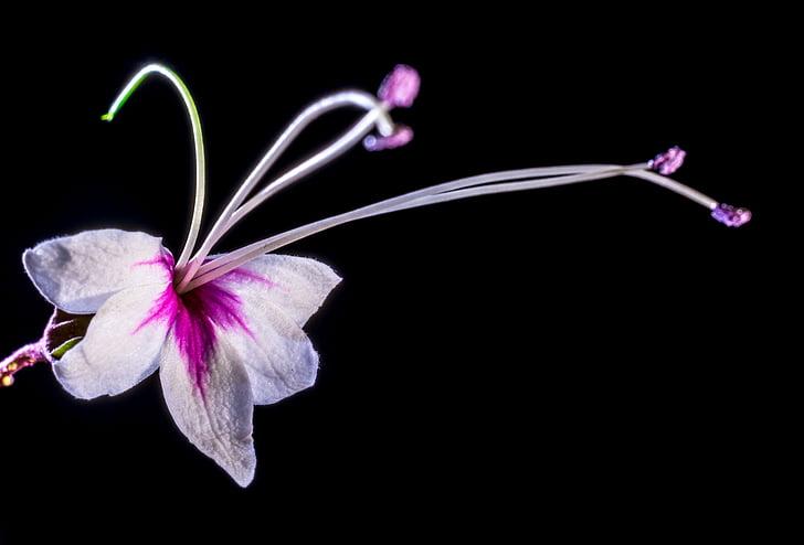 Wild flower, bloem, Blossom, Bloom, wit roze