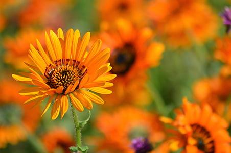 flor, natura, pol·len, flors d'estiu, taronger, pètals, jardí