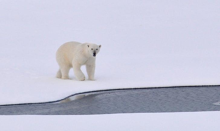 ledo, Arkties, balta, šaldymo, lauke, Gamta, Laukiniai gyvūnai