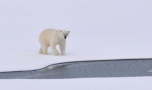 ice, arctic, white, cold, outdoors, nature, wildlife