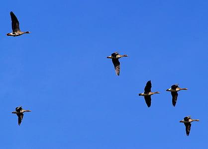 Linnut, hanhet, siipikarjan, eläimet, sulka, hanhia, taivas