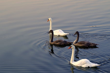 swans, mature, young, gray, white, four, family