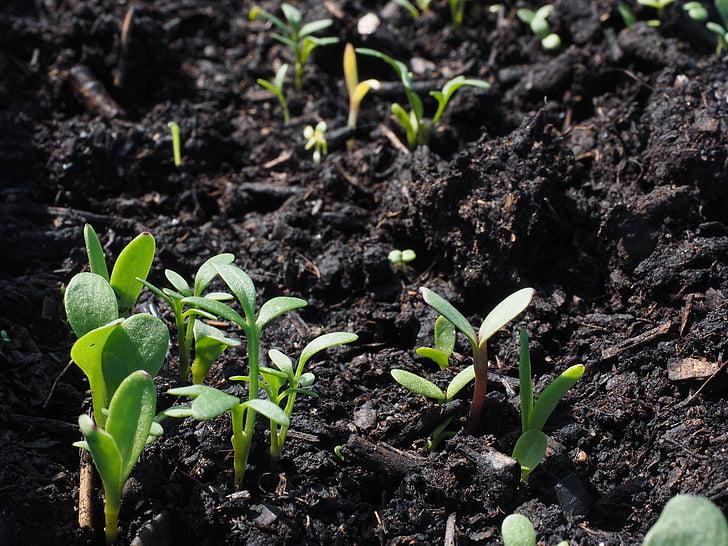 lilled, külvi, kasvu, seemikud, taim, istutamise mulla, seemne