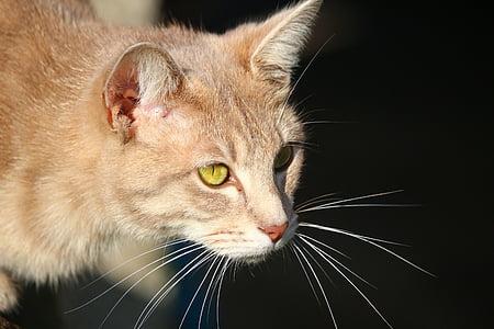 kissa, Mieze, tiikeri kissa, rotu kissa, makrilli, kissan silmät, pentu