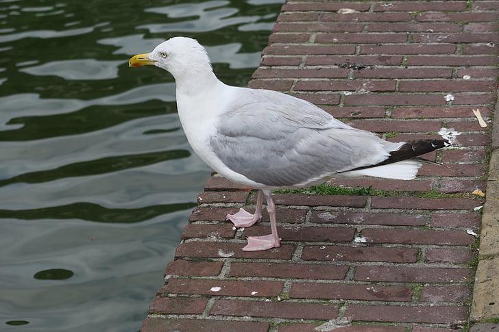 uccello, uccello acquatico, Gabbiano, uccelli, animale, uccello di mare, Gabbiano