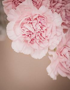 claus d'espècia, flor, Rosa, flors roses, Clavell Rosa, flors, pètals