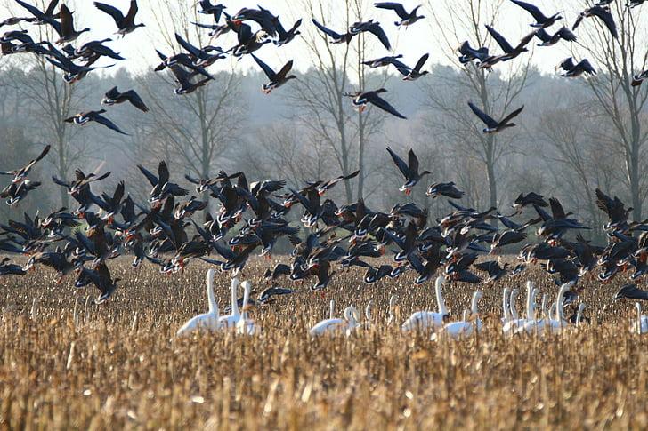 gosi, labod, ptica, labodi, gos, ptice selivke, vodnih ptic