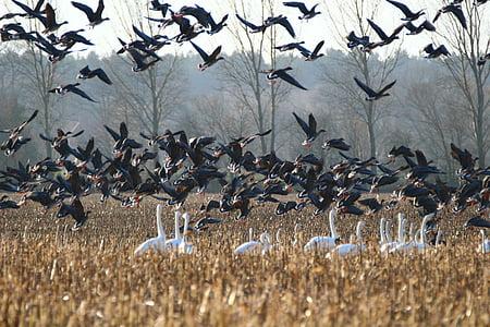 gansos, Cisne-bravo, pássaro, cisnes, ganso, aves migratórias, ave aquática
