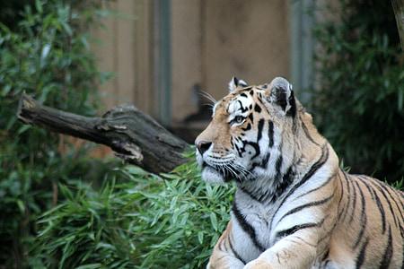 tiger, cat, zoo, animals, predator, nature, big cat
