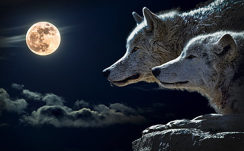 volk, navor volk, luna, oblak, nebo, narave, polna luna