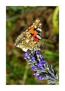 Geverfde Dame, vlinder, vlinders, edelfalter, lavendel, bloem, Blossom