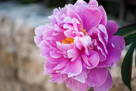 lilled, Dalia, loodus, kevadel