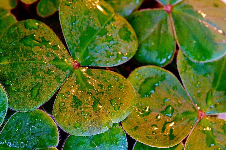 Kleeblätter, Klee, St. Patricks day, St. Paddys day, Irisch, Blatt, Urlaub