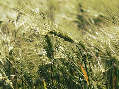 Viljapõllu, väli, teravilja, tera, põllumajandus, loodus, suvel