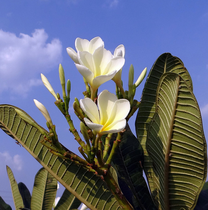 Plumeria, Frangipani, blomst, hvid, blå himmel, Indien