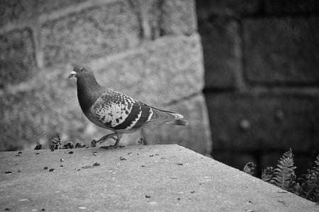 holub, vták, zviera, zameraním, zvieratá, Fauna, perie