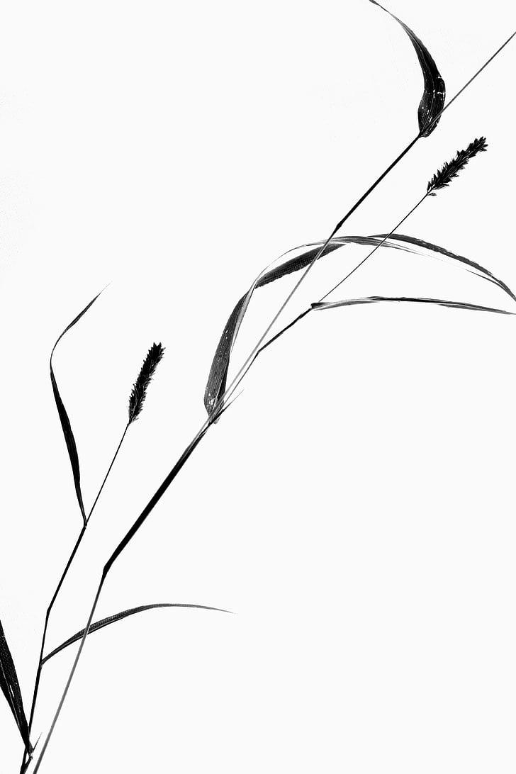 planta, bodegons, herba, silueta, close-up, no hi ha persones, fons blanc