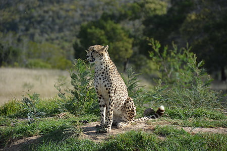 south africa, national park, cat, wildlife, africa, nature, animals In The Wild