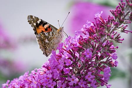 vlinder, Lila, zomer Lila, roze, roze bloem, Blossom, Bloom