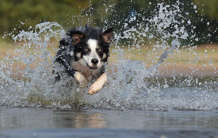 kenar kömür ocağı, atlama, su, İngiliz çoban köpeği, Yaz, çalışan, köpek