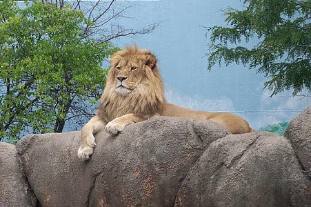 lion, zoo, zoo animals, king of the jungle, lion - Feline, undomesticated Cat, carnivore