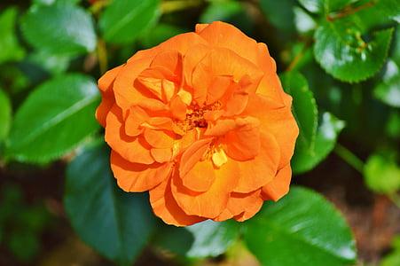 τριαντάφυλλο, άνθος, άνθιση, λουλούδι, πορτοκαλί, αυξήθηκε ανθίζουν, φύση