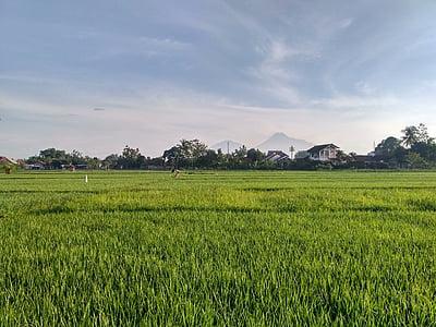 koorimata, ricefield, väli, Jogja, nogotirto, Yogyakarta, Indoneesia