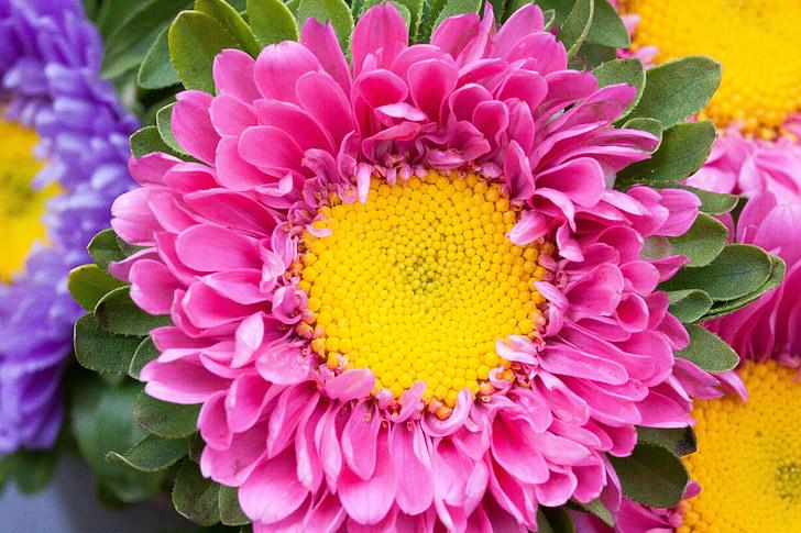 Astry, jeseň, Záhrada, Príroda, kvety, kvet, kvet
