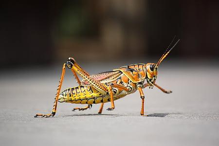 Heinäsirkka, hyönteinen, Luonto, eläinten, Sulje, yksi eläin, eläinten Teemat