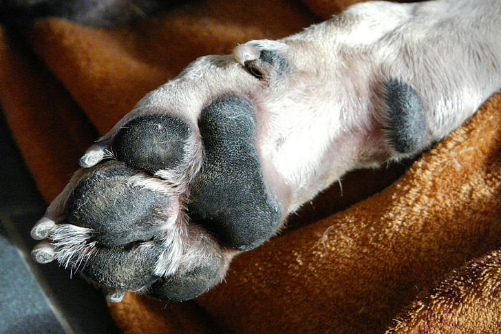 pas, pas šape, Sreća, stopala, životinja šapa, životinja, ljubimac