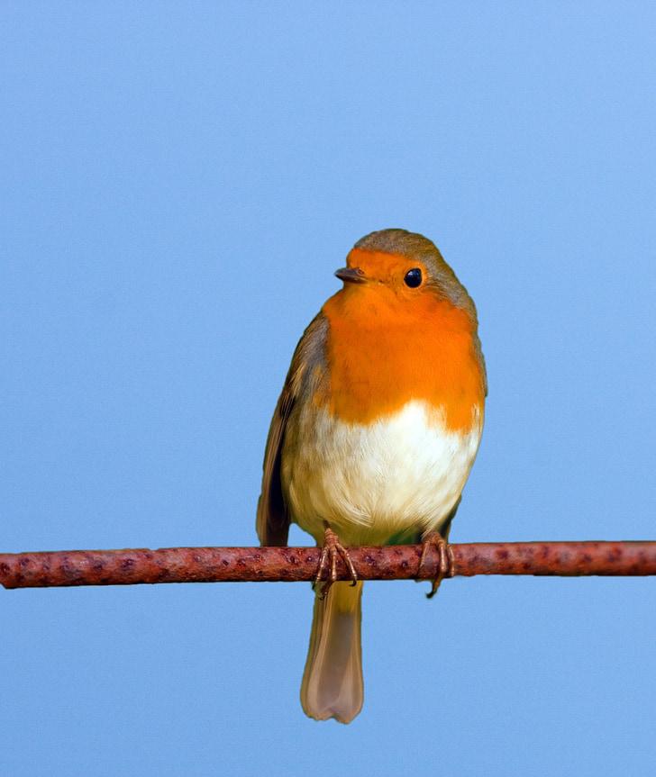 ptica, Robin, slatka, grana, Krupni plan, plava, nebo