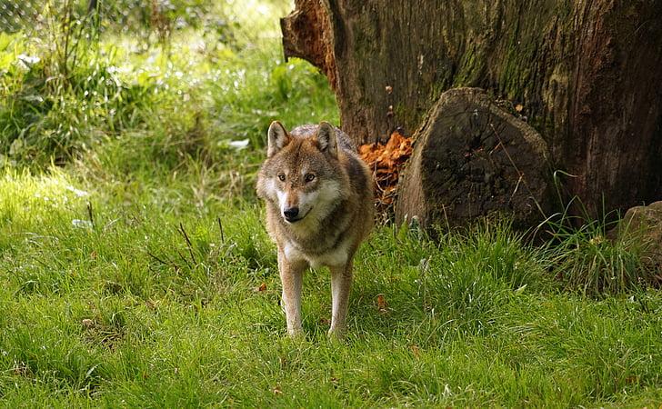 llop, Predator, animal, natura, Parc
