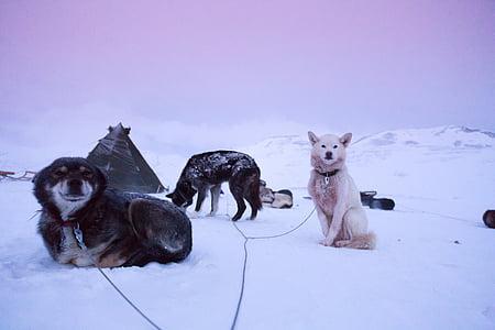 Husky, eventyr, rejse, Ice, slæde, klitterne, billede