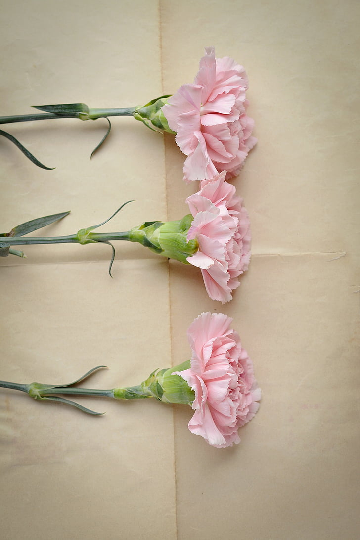 cloves, pink, carnation pink, flowers, three, pink flowers, piece