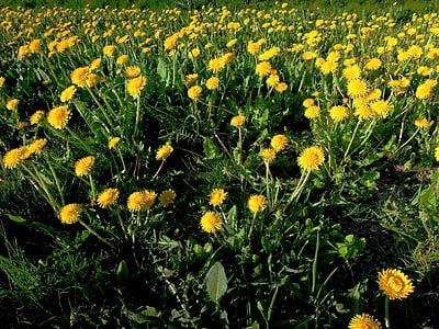 cvet, rumena, pomlad, rumeni cvet, rastlin, narave, spomladanske cvetlice