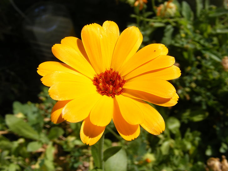 calendula, cosmetic, culinary, flowers, homeopathic, marigold, medicinal