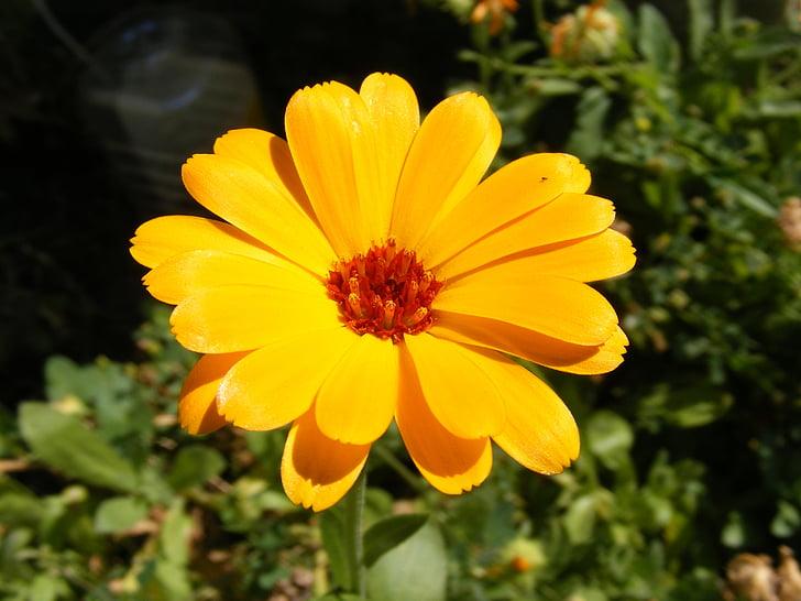 Calendula, kozmetične, kulinarične, cvetje, Homeopatska, ognjič, zdravila