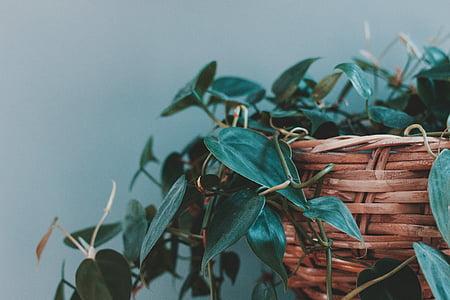 lá, màu xanh lá cây, thực vật, lọ hoa, nồi, Bình Hoa, giá trong giỏ hàng