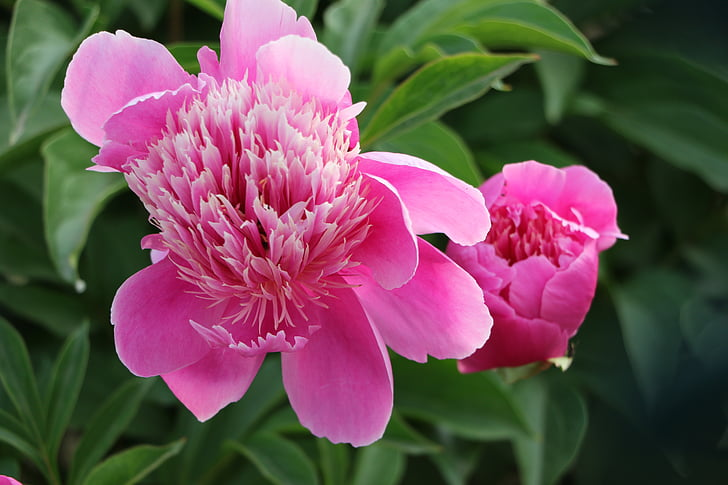 chinese herbaceous peony, flower, pink, pink color, plant, peony, nature