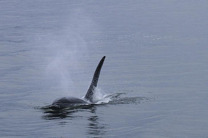 Orca, hval, Spækhuggeren, havets pattedyr, hvaler, Marine liv, havet